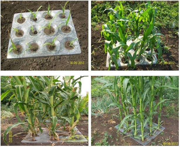 Как правильно сажать кукурузу фото 73