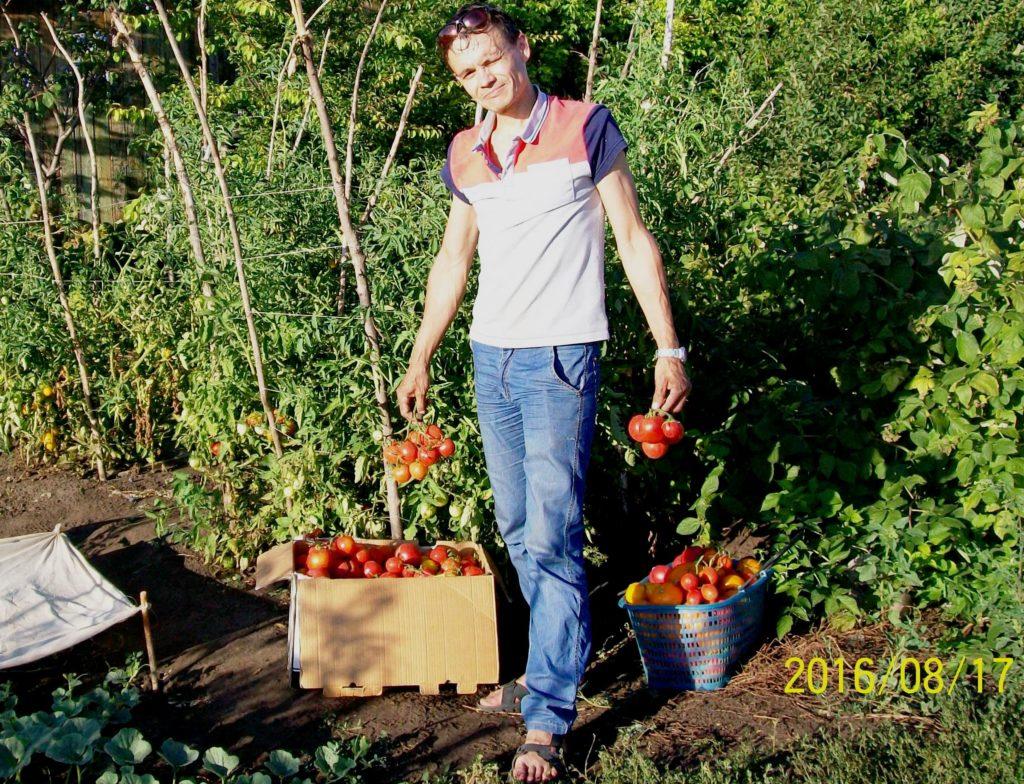 Середина августа 2016. Второй сбор урожая спелых томатов.