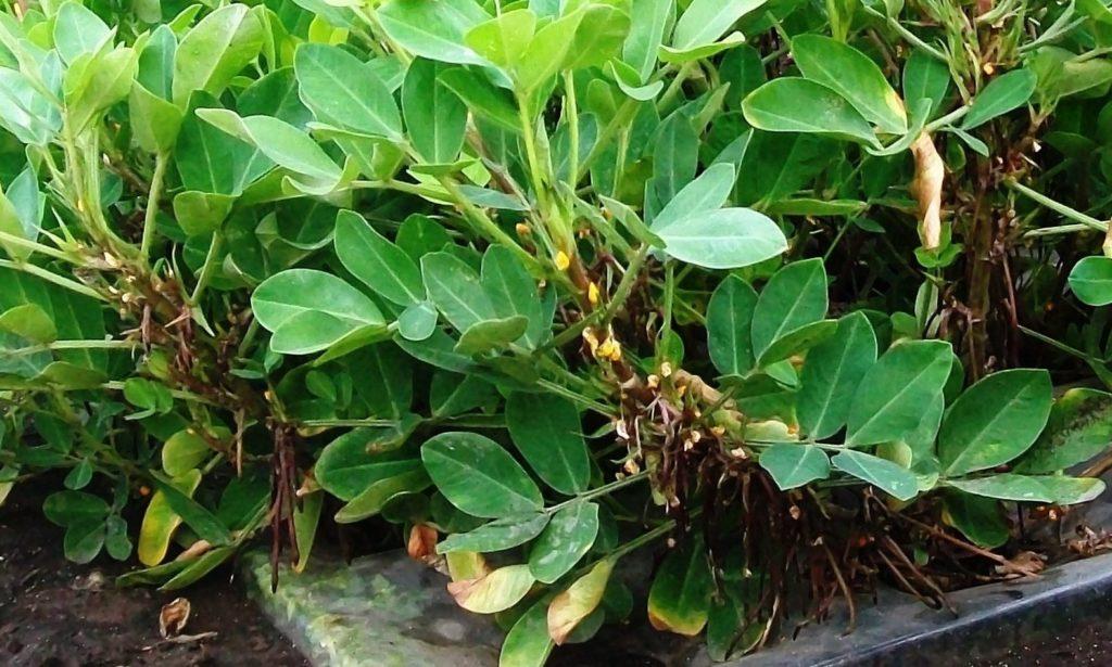 Уфа. Август 2016. Арахис в агропанели. Гипофоры растут по всей длине стеблей.