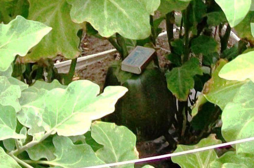 Уфа. Август 2016. Такие гиганты - баклажаны растут в агропанелях.