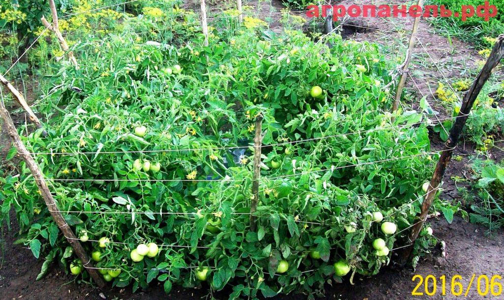 помидоры в агропанелях