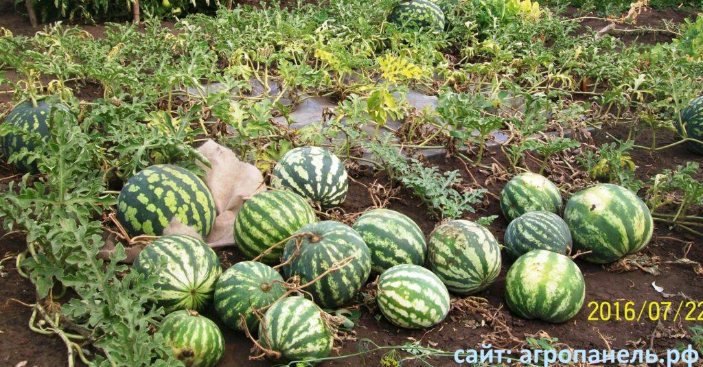 Выращивание арбузов в башкирии 77