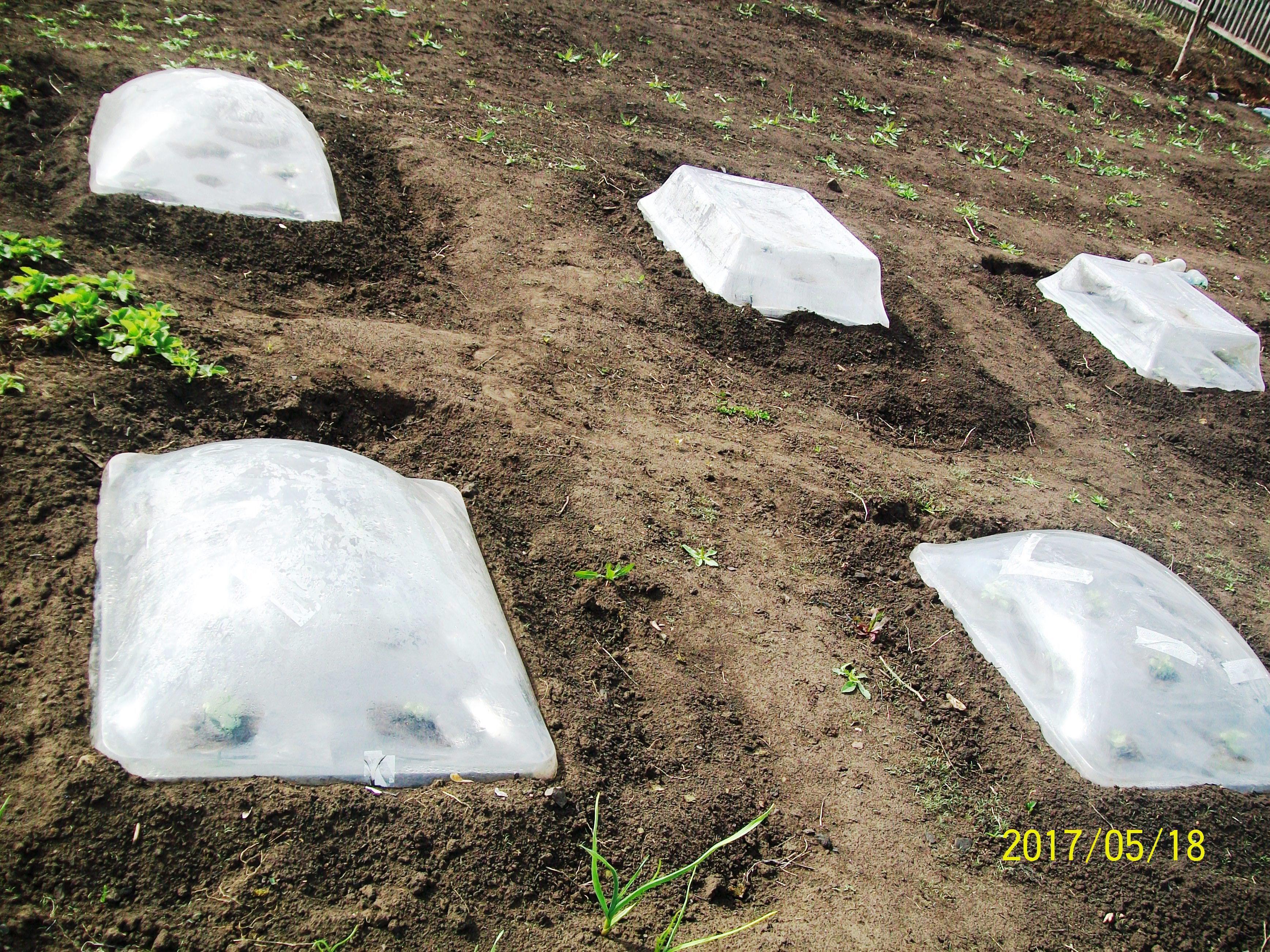Для защиты от холодов ростки надежно защищены минипарниками,май 2017