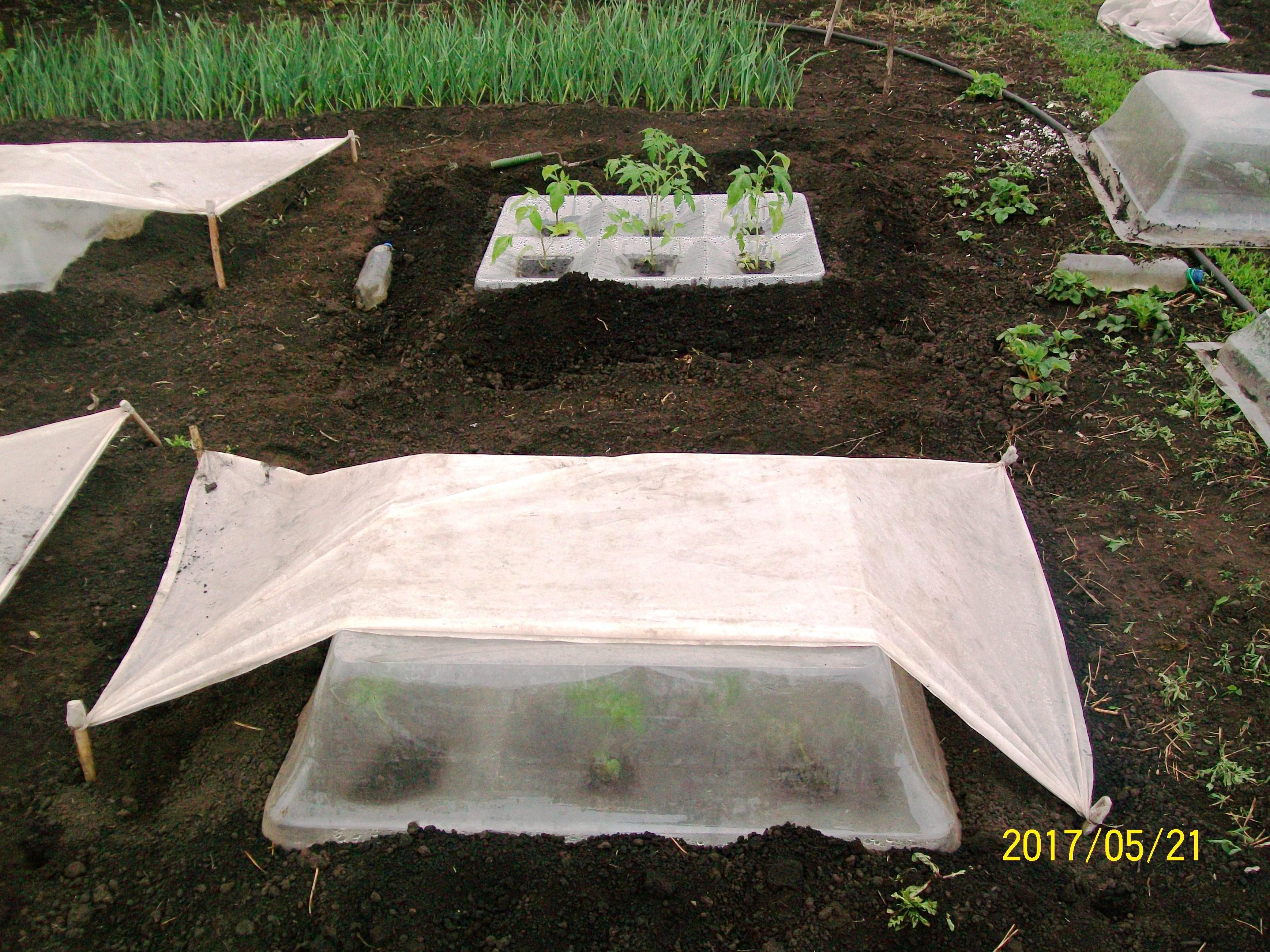 Защита высаженной томатной рассады от холодов и от перегрева при долгом отсутствии садовода, май 2017