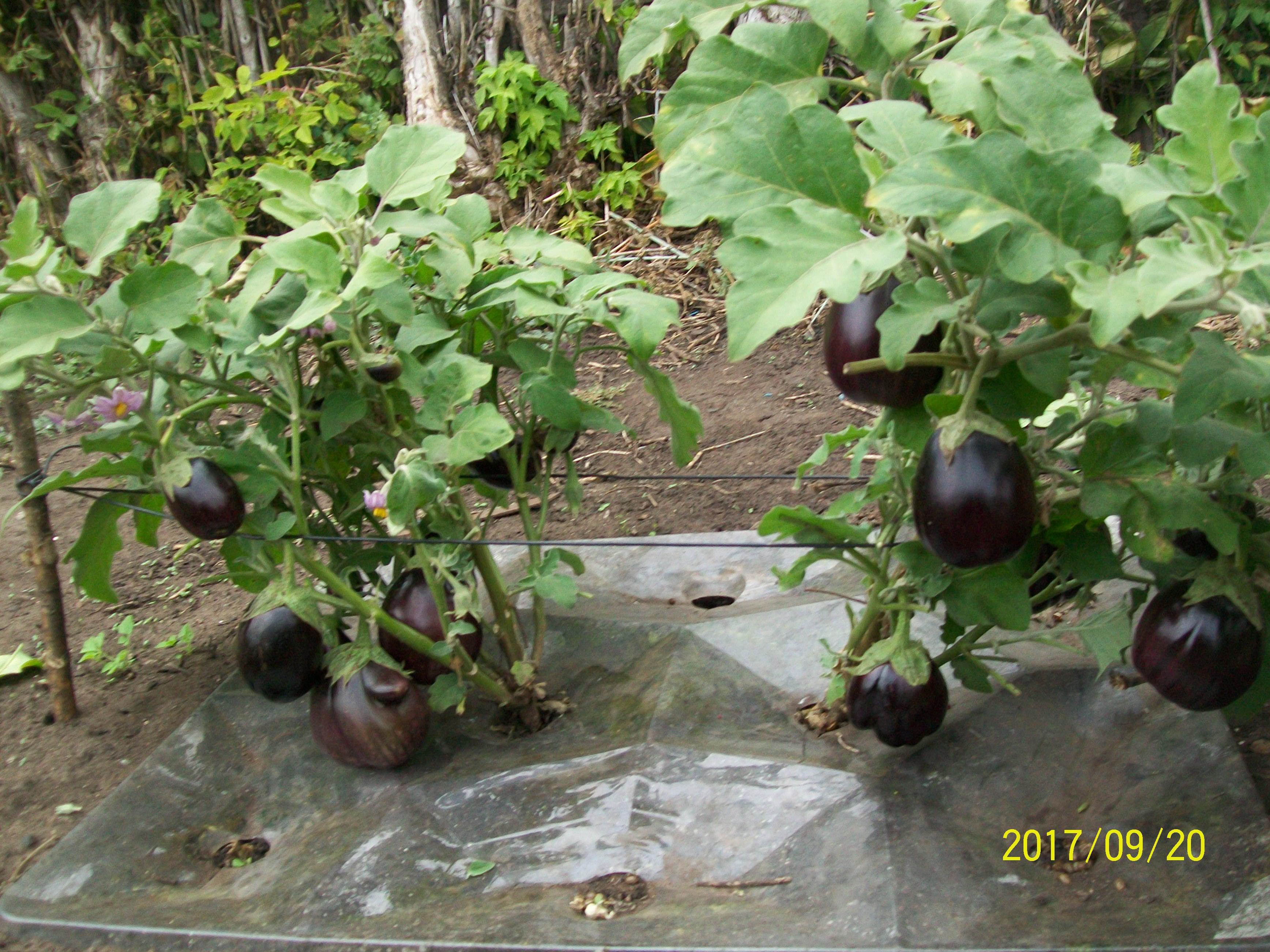 Незаметные летом баклажаны, высаженные среди дынь, осенью дали неплохой урожай.