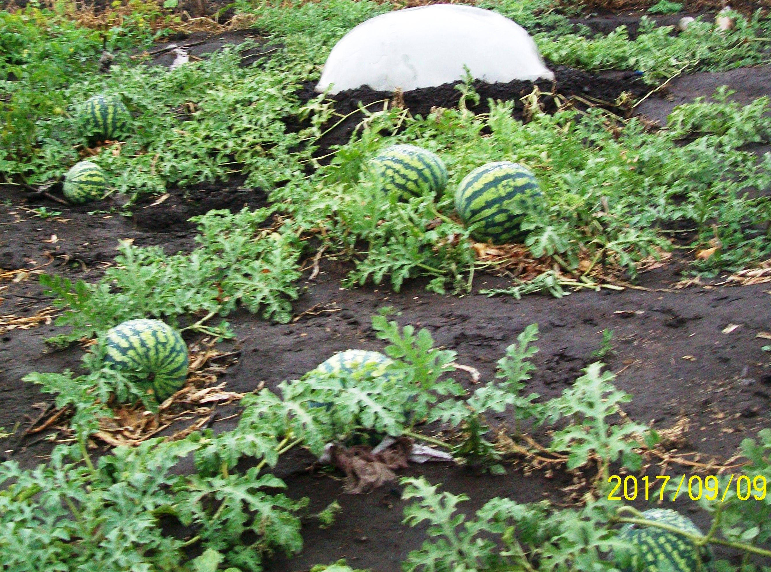 Перед дождями в сентябре агропанели лучше накрыть минипарниками, чтобы арбузы не были водянистыми. Уфа, сентябрь 2017.