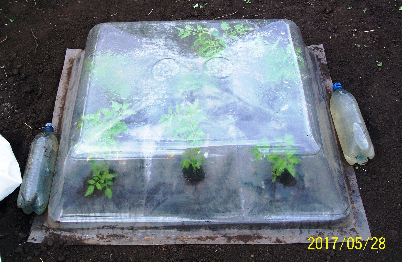 Рассада томатов в агропанелях пошлв в рост, пора снимать минипарники