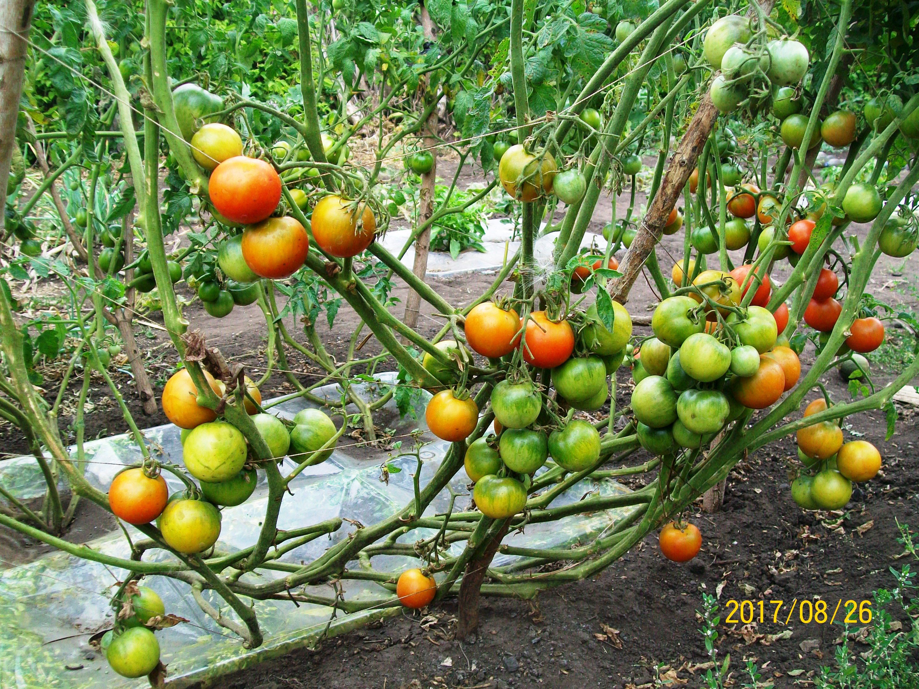 Срзревшие на корню томаты открытого грунта - самые вкусные