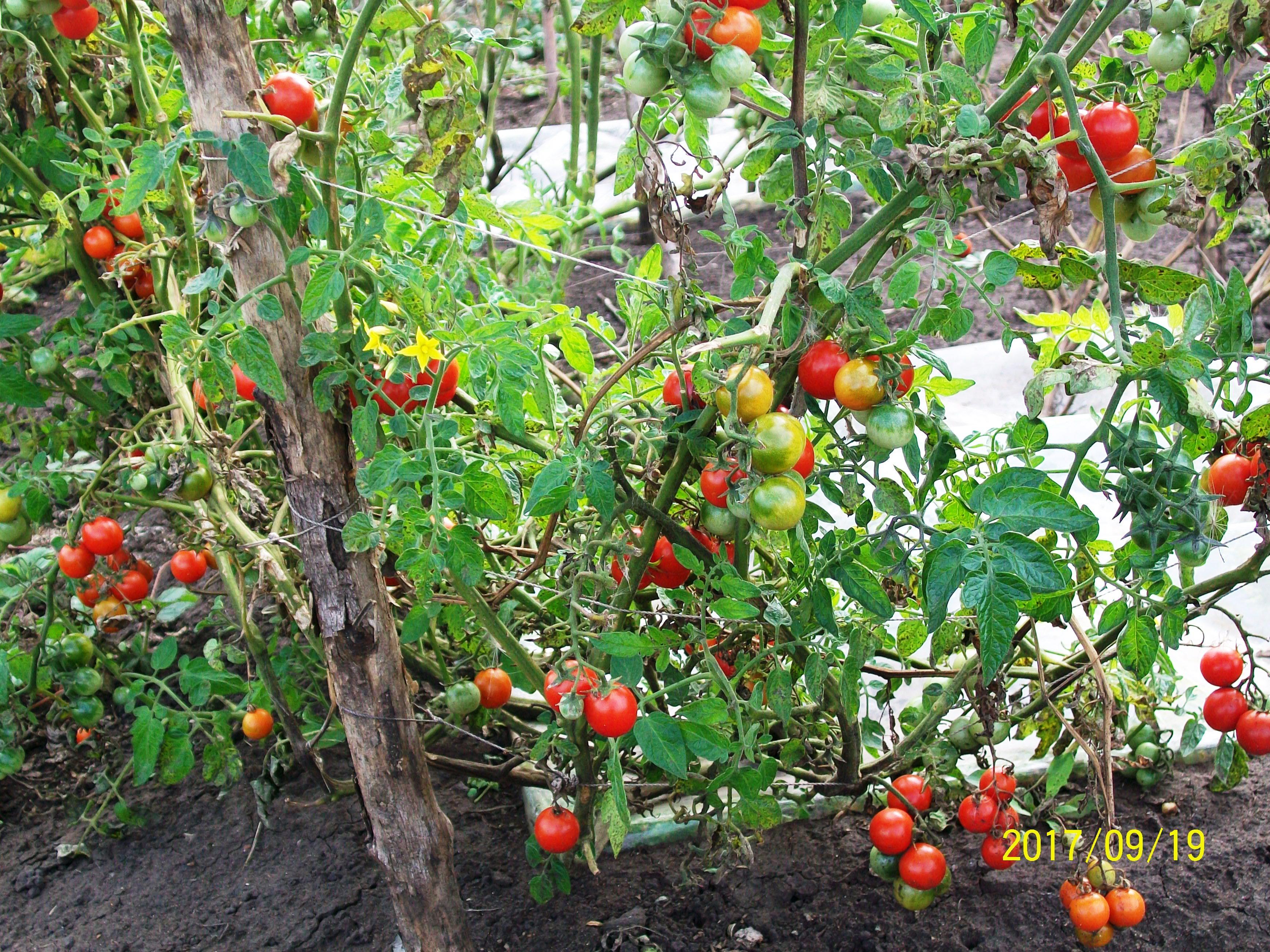 Томаты Черри обильно плодоносят с середины лета до третьей декады сентября, больных пл.одов нет. Уфа