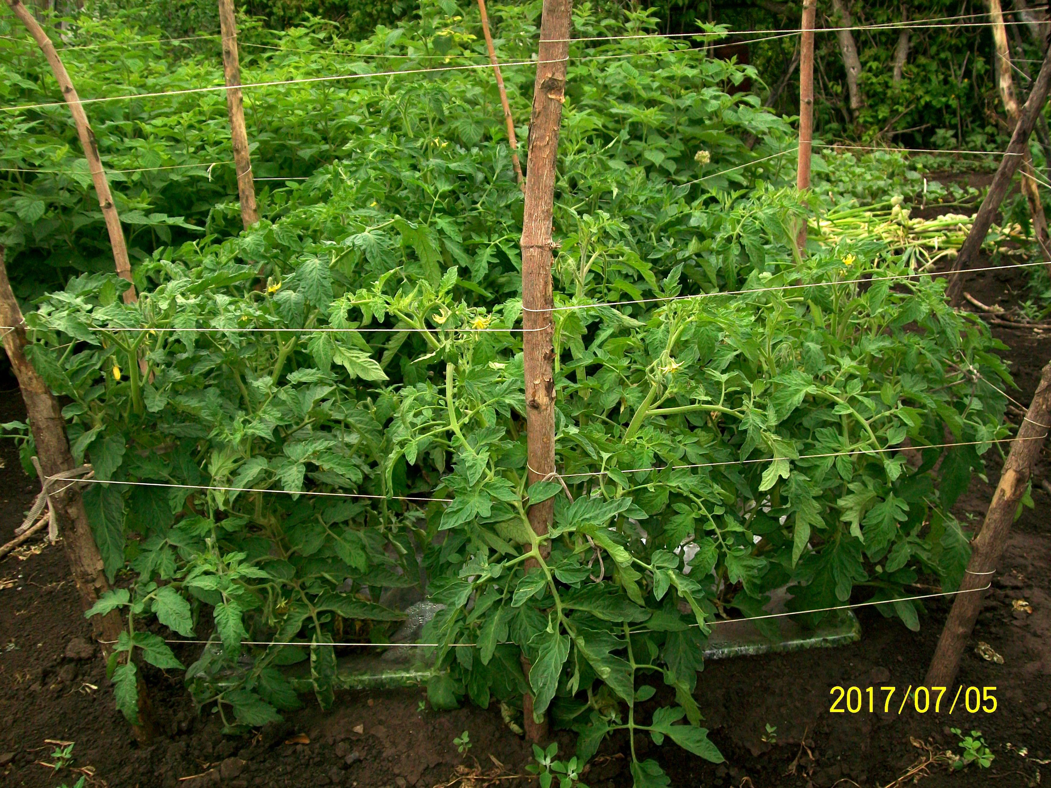 Томаты в агропанелях выросли до метрового роста, начали обоазовываться прервые плоды.. Начало июля 2017, Уфа.