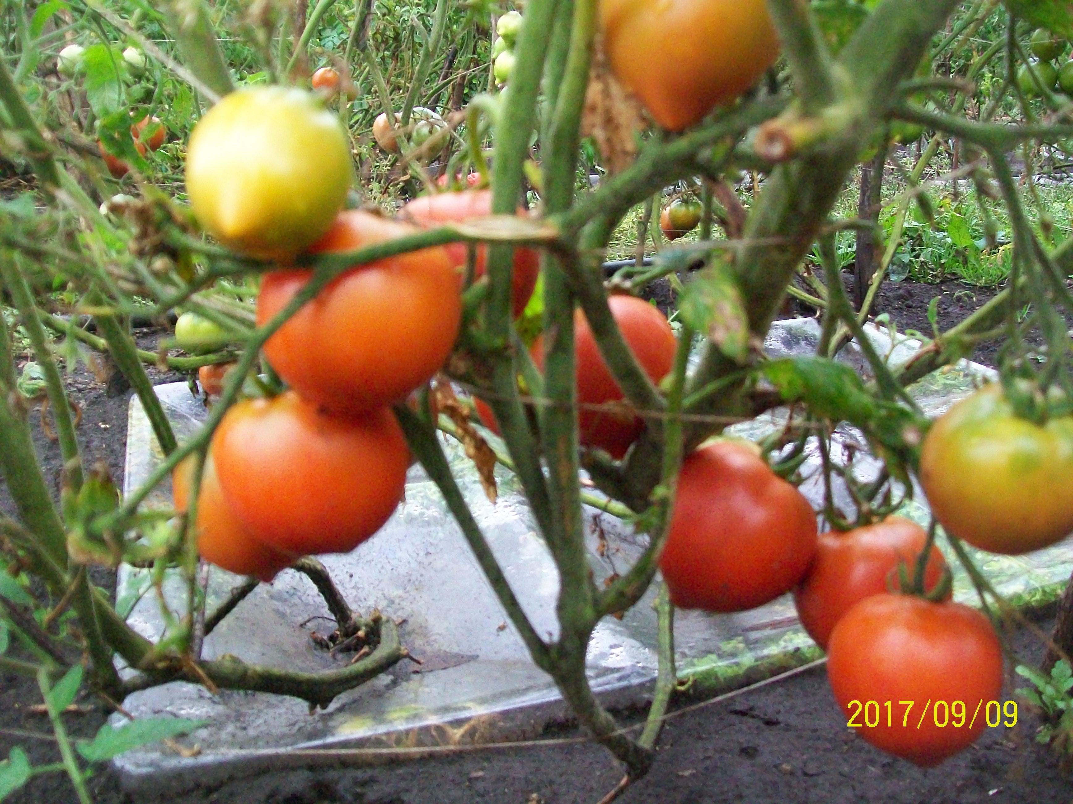 Томаты в агропанелях и осенью дают вкусные сочные плоды открытого грунта, заболеваний в этом году не зафиксировано. Уфа, сентябрь 2017.