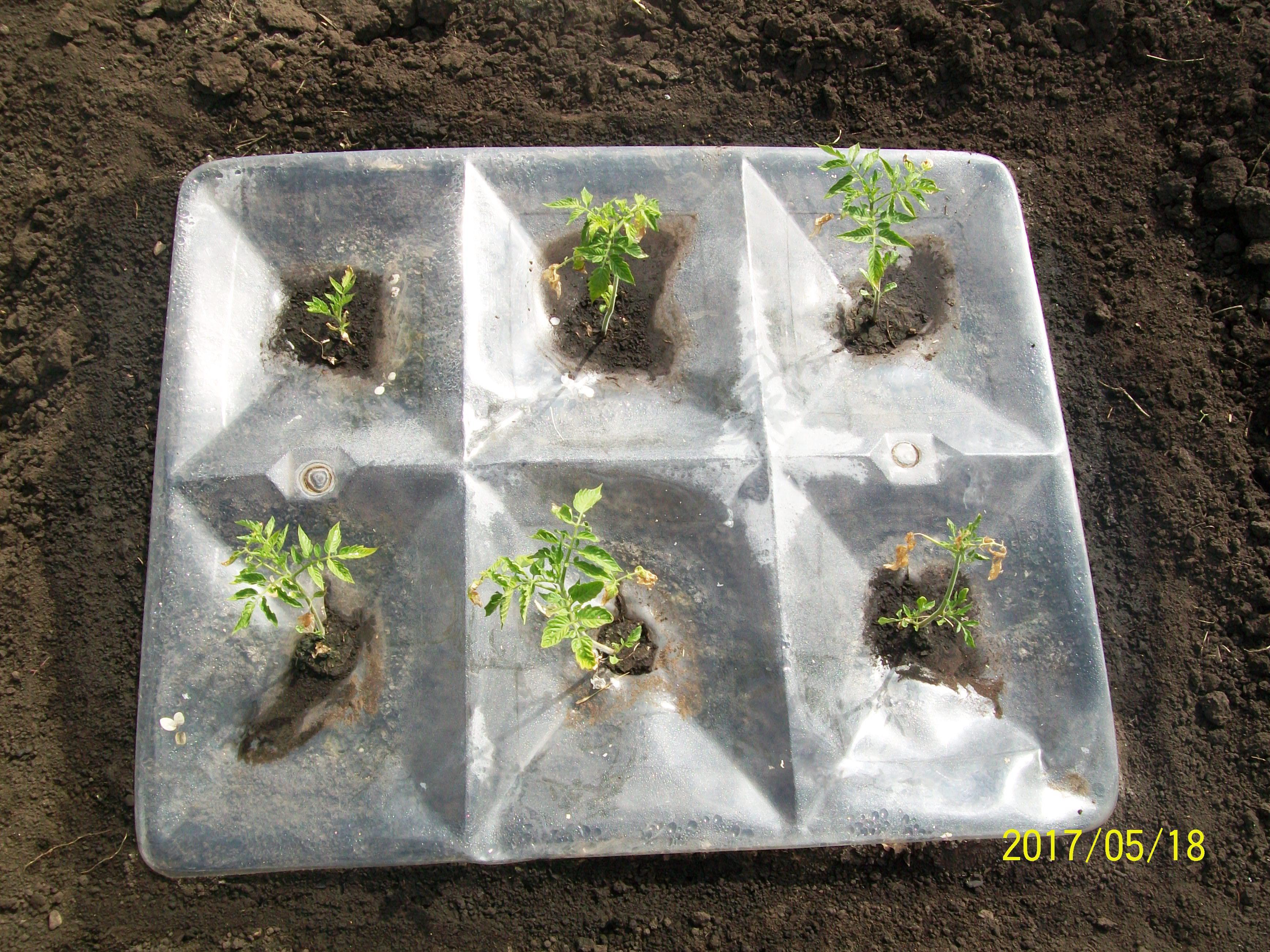 Томаты в 6 ячейковой агропанели начали рост, май 2017