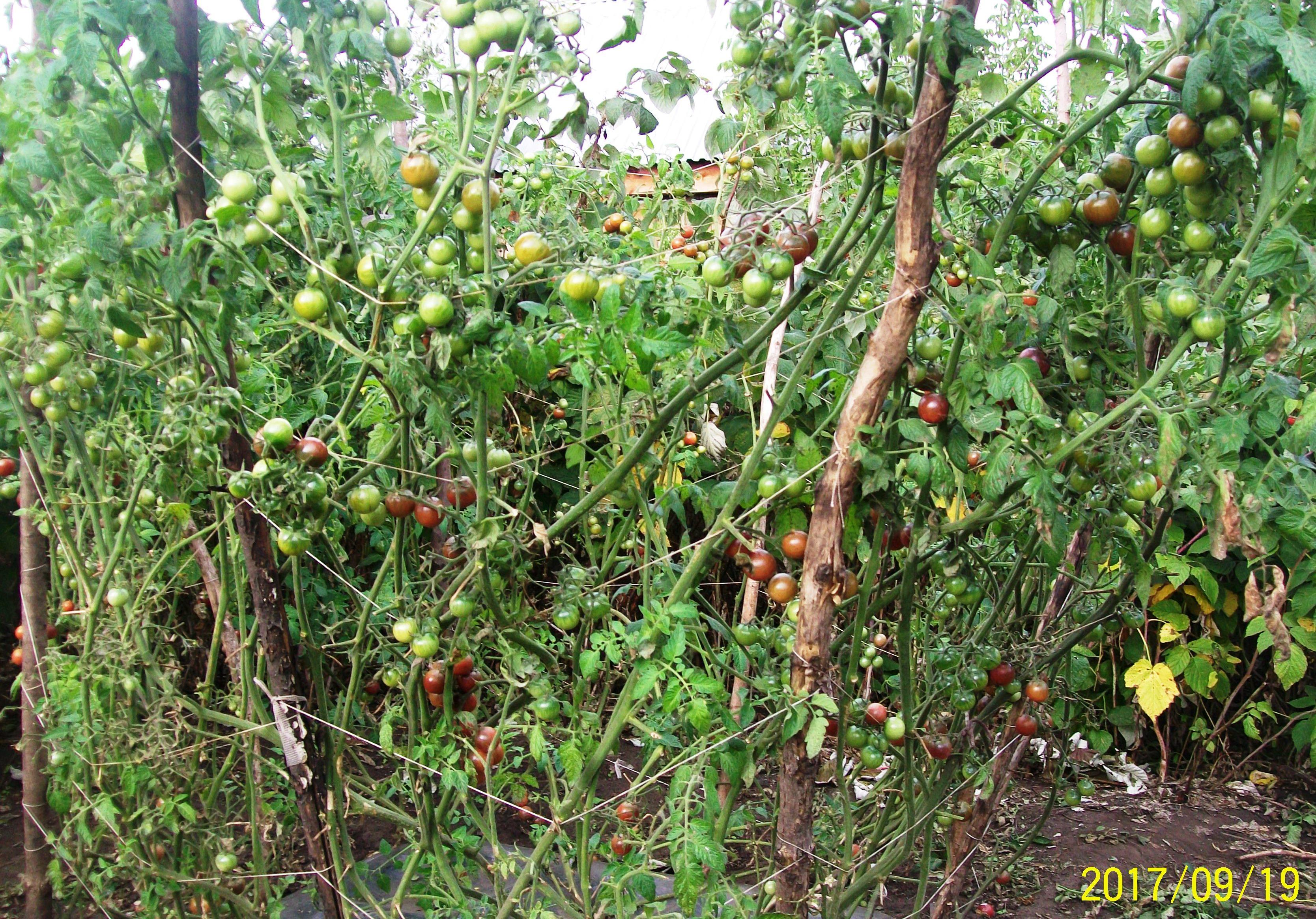 Томаты типа Черри обильно продолжают плодоносить и в сентябре, на каждом кусту -много сотен плодов