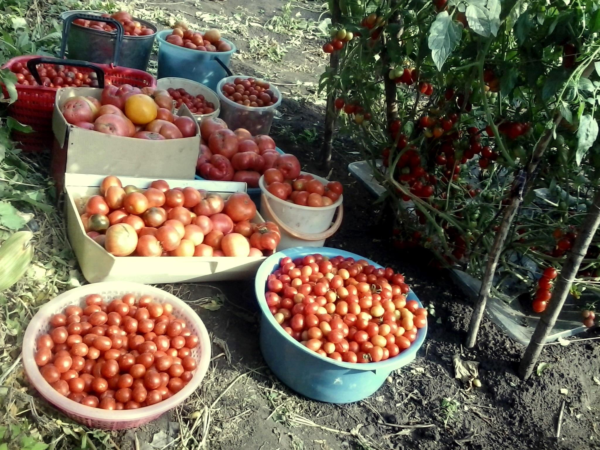 Урожай томатов великолепен 2018-09-05